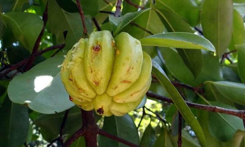 Garcinia cambogia ist eine sehr kleine Fruch